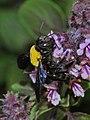 Xylocopa pubescens female 1.JPG