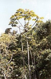 Yagrumo 1