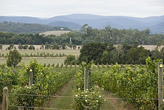 Yarra Valley (wine) - Image: Yarra Valley, vineyards at Yarra Yering