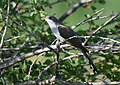 Yellow-billed Cuckoo (34996516076).jpg