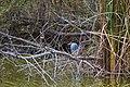 Yellow-crowned night heron (45903053225).jpg