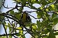 Yellow-throated Warbler Smith Oaks High Island TX 2018-04-17 14-00-28 (40140990580).jpg