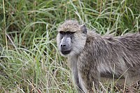 Yellow Baboon - Mikumi National Park.jpg