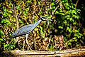 Yellow Crowned Night Heron coloration.jpg