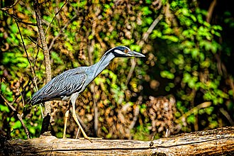 Yellow-crowned night heron - Image: Yellow Crowned Night Heron coloration