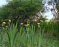Yellow Iris at Spynie Loch - geograph.org.uk - 1377062.jpg