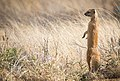 Yellow mongoose (Cynictis penicillata).jpg