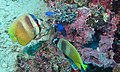 Yellowspot Butterflyfishes (Chaetodon kleinii) (8504102342).jpg