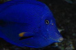 Yellowtail surgeonfish.jpg