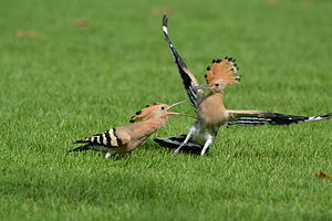 Hoopoe - Young and mature hoopoe in Dubai park