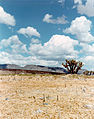Yucca brevifolia at the Nevada Test Site 2.jpg