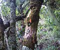 Z Treefuschia flowers at Aloes Kirstenbosch - Halleria lucida 8.JPG