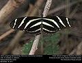 Zebra Longwing (Nymphalidae, Heliconius charithonia (Linnaeus)) (27684123819).jpg