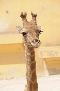 Zoo Lisboa . Girafa.JPG
