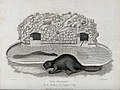 Zoological Society of London; two beavers outside their arti Wellcome V0023099.jpg