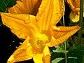 Zucchini flower.jpg