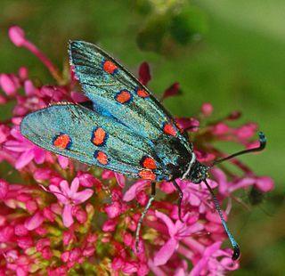 <i>Zygaena lavandulae</i> Species of moth