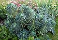 'Euphorbia characias' West Garden Hatfield House Herts England.jpg