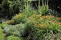 'Hemerocallis fulva' Daylily in a flower bed Gibberd Garden Essex England 02.JPG