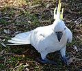 (1)Centennial Park birdlife 050.jpg
