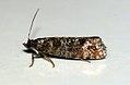(1212) Spotted Shoot Moth (Rhyacionia pinivorana) (4712442564).jpg