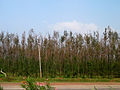 (Casuarina equisetifolia) plantations near Elamanchili 02.jpg