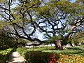 Árbol centenario - Jardín de la Quinta de San Pedro Alejandrino.JPG