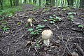 Валуї (Russula foetens) на валу Якушинецького городища P1510694.jpg