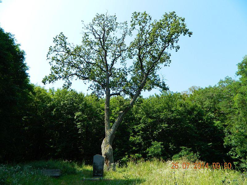 """File:Дуб велетень!) Тут бував великий російський поет Пушкін. Цілком можливо це саме той дуб, що """"у лукоморья"""".jpg"""