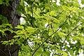 Клен-сахарный-Acer-saccharum.jpg