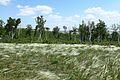 Ковыль и степной колок - panoramio.jpg