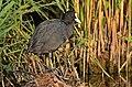 Лиска (Fulica atra) звичайний навколоводний птах території заказника.jpg