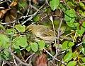 Пеночка-весничка - Phylloscopus trochilus - Willow warbler - Брезов певец - Fitis (37249261572).jpg
