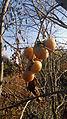 Плоди хурми віргінської (Diospyros virginiana).JPG