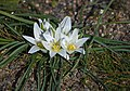 Птицемлечник преломленный - Ornithogalum refractum - Пречупен гарвански лук - Milchsterne (12596852465).jpg