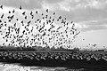 נדידת ציפורים בעמק החולה.jpg