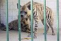 کفتار در باغ وحش مشهد -ایران-Hyenas in zoo -iran.jpg