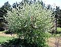 ბერყენა ფშატფოთოლა Pyrus elaeagrifolia Ölweidenbirne 1.JPG