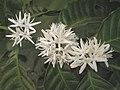 中果咖啡 Coffea canephora -泰國清邁花展 Royal Flora Ratchaphruek, Thailand- (9227047343).jpg