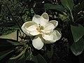 北美木蘭 Magnolia virginiana -倫敦植物園 Kew Gardens, London- (9229860102).jpg