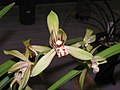 四季小桃紅 Cymbidium ensifolium 'Small Peach-Red' -香港沙田國蘭展 Shatin Orchid Show, Hong Kong- (12147304394).jpg