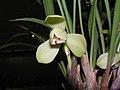 春蘭-荷瓣 Cymbidium goeringii Lotus-series -香港沙田國蘭展 Shatin Orchid Show, Hong Kong- (9222672342).jpg
