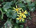 橐吾屬 Ligularia reniformis -上海松江方塔園 Song Jiang, Shanghai- (12099274213).jpg