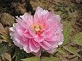牡丹-粉荷蓮 Paeonia suffruticosa 'Pink Lotus' -武漢東湖牡丹園 Wuhan, China- (12496212033).jpg