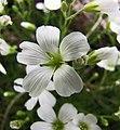 米努草屬 Minuartia laricifolia v kitaibelii -哥本哈根大學植物園 Copenhagen University Botanical Garden- (36871614972).jpg