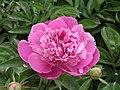 芍藥-向榮紅 Paeonia lactiflora -瀋陽植物園 Shenyang Botanical Garden, China- (12380141595).jpg