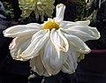 菊花-寬帶型 Chrysanthemum morifolium Broad-ribbon-series -中山小欖菊花會 Xiaolan Chrysanthemum Show, China- (9237445431).jpg