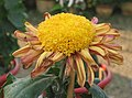 菊花-赤紅桂 Chrysanthemum morifolium 'Red Cradling Stamens' -中山小欖菊花會 Xiaolan Chrysanthemum Show, China- (12085272863).jpg
