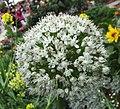 蔥 Allium fistulosum -香港花展 Hong Kong Flower Show- (13218321324).jpg