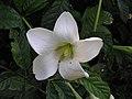 香果樹屬 Euclinia longiflora -泰國清邁花展 Royal Flora Ratchaphruek, Thailand- (9229775564).jpg
